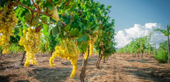 Organic wine, what it is and what it means